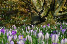 Crocus,Leicester Botanic Gardens
