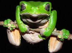 Kambo Frog, The Phyllomedusa Bicolor
