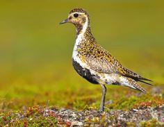 Eurasian Golden Plover 04 by nordfold on deviantART