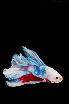Live Fish Wallpaper, Beautiful Live Wallpaper, Live Wallpaper Iphone, Graphic Wallpaper, Pet Goldfish, Goldfish Tank, Pet Fish, Fish Gif, Betta Tank