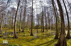 the-swam-cyrpess-lake