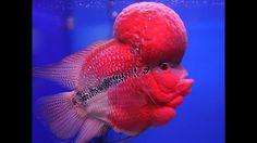 pez cuerno de flor, malasia, berbi