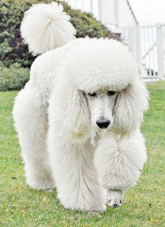 White Standard #Poodle