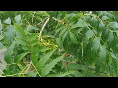 Owoce jesionu jako produkt kulinarny - YouTube Youtube, Plant Leaves, Plants, Plant, Youtubers, Youtube Movies, Planets