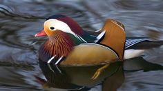 Duck Wallpapers