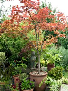 Red Maple Tree - (1) Entry Container
