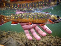 Underwater shot. #fishME #brooktrout #brookie