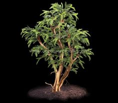 Sequoia - One of the world's most ancient plant in the most contemporary form