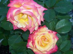 Rose bush my son gave me