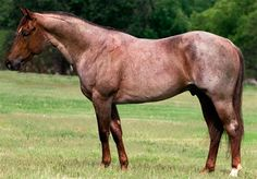 Peeka Pep - Quarter Horse stallion - double bred Royal Blue Boon, sired by Peptoboonsmal.