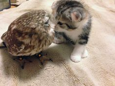 Momento fofo:Coruja e gatinho melhores amigos