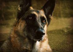 German Shepherd Photography DogblacktanGifts by VanillaExtinction, $20.00