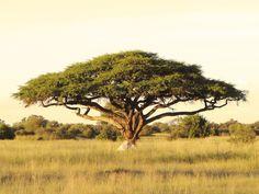 An acacia tree on the Serengeti Plain.