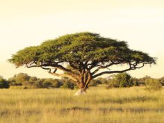 An acacia tree on the Serengeti Plain.