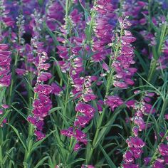 Penstemon 'Prairie Dusk' Beard-tongue (Penstemon barbatus x stricta 'Prairie Dusk'): Z3, 2x1', sun, drought tolerant, normal-sandy soil/any PH, #nativar #purple #pink #EarlySummer #LateSummer #EmeraldGreenFoliage #spires #xeriscape #CutFlower