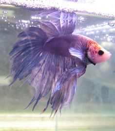 mauve and pink Crown Tail Betta