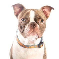 Lucky Dog Collar   Ready For Hillary Clinton for President 2016