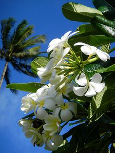 Plumeria Trees- I'm going to miss seeing these flowers all over my front yard. They smell so sweet! You see these all over Hawaii..