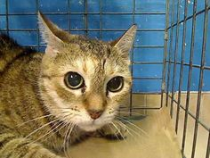 13 year old Jessica & her family needs out of NYCACC NOW!!! TO BE DESTROYED 6/18/13 Manhattan Center My name is JESSICA. My Animal ID # is A0967927. I am a female brn tabby domestic sh mix. The shelter thinks I am about 13 YEARS old. I came in the shelter as a STRAY on 06/08/2013 from NY 10011, owner surrender reason stated was OWNER DIED. I came in with Group/Litter #K13-140303.