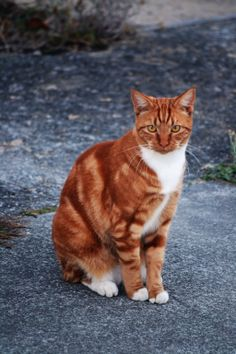 Ginger Tom Cat Stock 1 by on DeviantArt Pretty Cats, Beautiful Cats, Chat Male, Rare Cats, Cat Character, Unique Cats, Cat Reference, Warrior Cats, Cute Cats And Kittens
