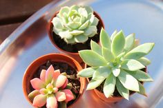 A little bit country: Succulents in Crown Lynn cups