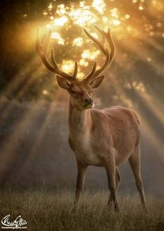 Golden Moment by Max Ellis Deer Photos, Deer Pictures, Animal Pictures, Nature Animals, Animals And Pets, Cute Animals, Wildlife Photography, Animal Photography, Beautiful Creatures