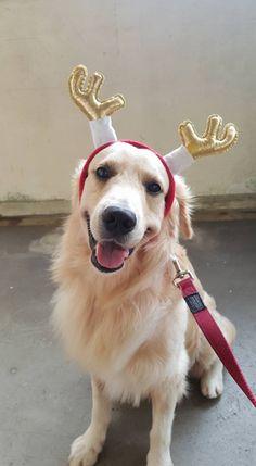 Christmas Golden Retriever ❤️