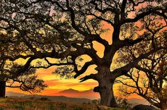 Big oak in Contra Costa, California photographed by Marc Crumpler