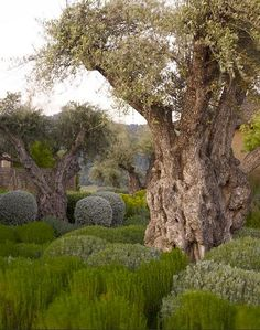 A very old olive tree