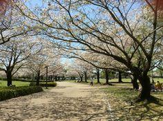 Beautiful sakura trees around park beside Miyazaki art museum.