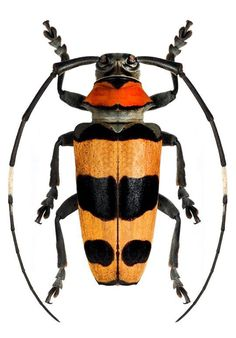 Beetle Insect, Beetle Bug, Insect Art, Beautiful Bugs, Beautiful Butterflies, Insect Orders, Longhorn Beetle, Cool Bugs, Bugs And Insects