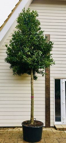 Laurus nobilis or Bay Tree as full standard tree for sale from evergreen tree specialists UK. Bay Leaf Tree, Bay Trees, Bay Leaves, Bay Laurel Tree, Tree Specialist, Deck Enclosures, Laurus Nobilis, Evergreen Trees, Gardens