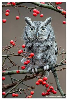 Screech Owl with red berries | gnagel | Getty Images