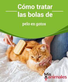 Cómo tratar las #bolas de pelo en #gatos Las bolas de #pelo son un mal que #afecta a la mayoría de los gatos. De hecho, puede ser muy incómodo y además causa malestares al felino. En muchas ocasiones no sabemos cómo #afrontar esto.