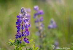 Lupine in the Warm Light A fine art image to hang on your wall. A great way to collect colors and decorate your walls. Image by Photographer Melissa Baines of Kodiak, Alaska and Mobile, Alabama.