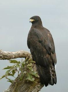 El águila milana1 (Ictinaetus malayensis) es una especie de ave accipitriforme de la familia Accipitridae, la única del género Ictinaetus.  El águila milana se distribuye por el sur y sureste de Asia, desde la India y Sri Lanka hasta el Sureste Asiático. Habita en bosques montañosos