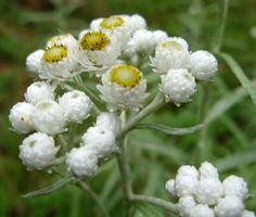 Flores ornamentales: Botón de plata (Anaphalis margaritacea)