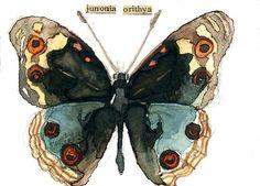 Junonia orithya (Blue Pansy Butterfly) by Carol Kroll