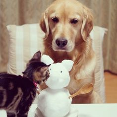 Dog Cares for Cat - Golden Retriever and Rescue Cat: Adorable Best Friends! - The Hollywood Gossip