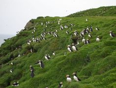 Puffin Island, Iceland, didn't know where to put this in nature or animals... #icelandic #birds www.yestravel.is #iceland