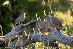 Red-billed #spurfowl @ Moremi Game Reserve in #Botswana - Click to check our #Moremi travel guide: http://www.safaribookings.com/moremi