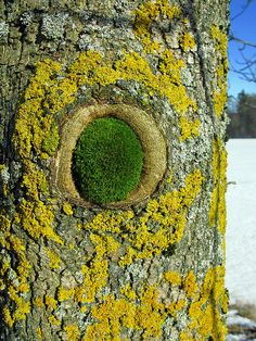 Lichen covered tree with moss covered hole by einhorn*, via Flickr