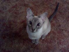Lorna's 5 yr old Blue Lynx Point Siamese.  She has such a personality!  Emma B. Grace.