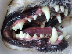 """""""Es fundamental que el propietario se conciencie de la necesidad de prevenir el desarrollo del sarro o placa dental de su mascota. Los perros y gatos, igual que sucede en los humanos, presentan una dentadura provisional (dientes de leche) que precede a la definitiva. El cambio comienza por los incisivos (sobre los 4 meses de edad) y termina con los molares entre los 10 y 12 meses en el caso de los perros.""""…"""