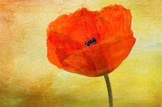 Springtime Poppy Copyright 2014 Denyse Duhaime