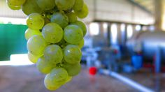 #Semillon grapes in #Cyprus | by Fikardos Winery