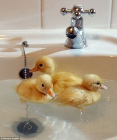 Most people keep their ducks in the bath... but this lot aren't made of rubber