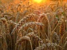 inserthipsterlyricshere:    Wheat in golden Evening Light (by Batikart)