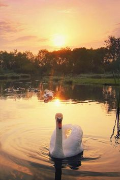 Colorful sunset and Swan