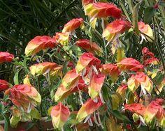 pianta gamberetto - Cerca con Google